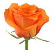 Роза  оранжевая, 50-60 см.