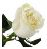Роза  белая, 50-60 см.