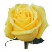 Роза желтая, 50-60 см.