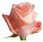 Роза розовая, 50-60 см.