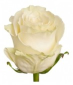 Роза белая, 80 см.